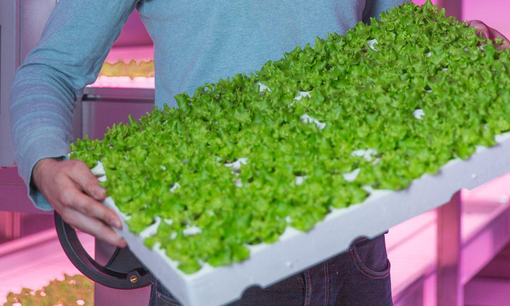 Philips GreenPower LED: вертикальное фермерство станет ближе к покупателю