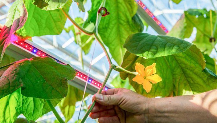 Philips Lighting представила первый в России проект светодиодного освещения для огуречной теплицы