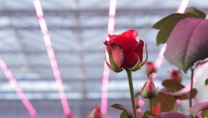 Компания Signify представит LED-решение Philips GreenPower с новым спектром для выращивания роз