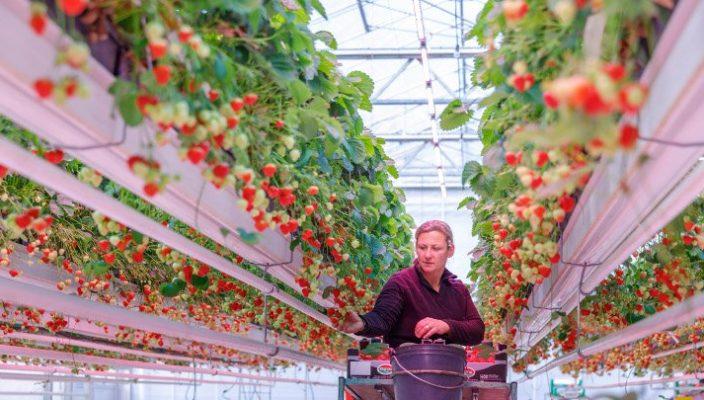 Компания Signify представила новые LED-решения Philips GreenPower на международной выставке садоводства IPM в Эссене