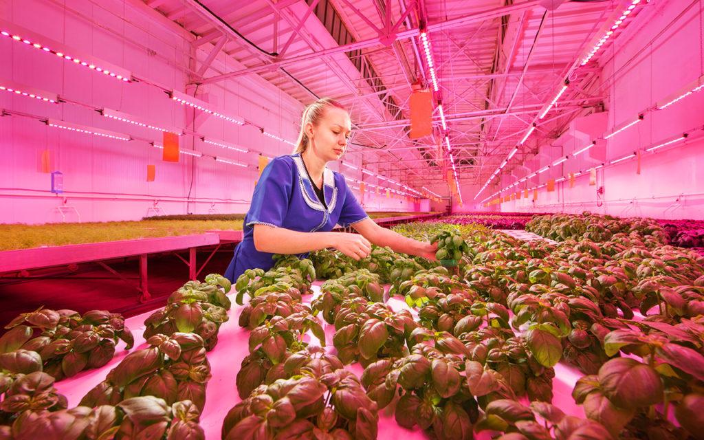 В Ивановской области впервые в мире научились выращивать томаты и огурцы в условиях закрытого пространства без доступа естественного света