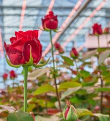 Signify разработала световой рецепт для круглогодичного выращивания роз в закрытом грунте
